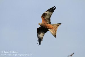 Red Kite 1 by twilliamsphotography