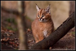 Caracal cub II by AF--Photography