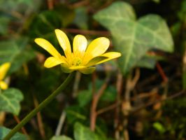 Buttercup by KayleighBPhotography