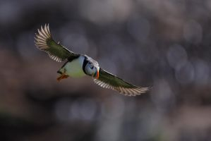 Did you see the puffins ??? (the return) by phalalcrocorax