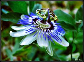 Passion Flower. by INK-Boy-Photography