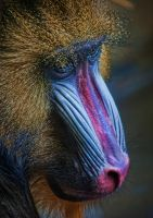 Mandrill Primate by braxtonds