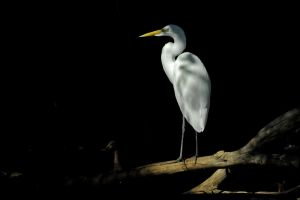 Great Egret by Austinii