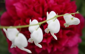 Dangling White Bleeding Hearts by KeswickPinhead