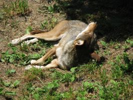 Red Wolf Stock 35 by HOTNStock