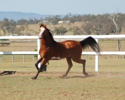 GE arab pinto trot side view head at camera by Chunga-Stock