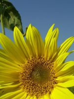 Sunflower II by Adsarta