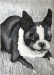 The Boston Terrier! by VStriper