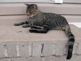 grey tabby stock 5 by tahbi