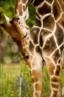 Giraffe4 by Vickithtoria