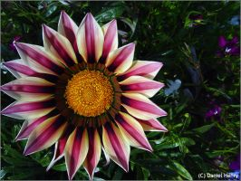 Daybreak RoseStripe Gazania 2 by Man-Upstairs
