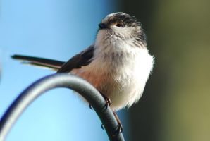 Long Tailed Tit by Ellie-S