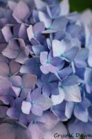 Blue Hydrangea by poetcrystaldawn