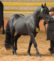 STOCK - 2014 Andalusian Nationals-216 by fillyrox