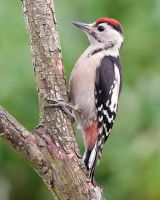 Woodpecker by pixellence2