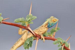 Blue Headed Lizard - Spikes of Color by LivingWild