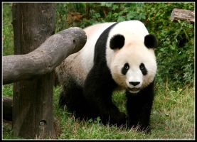 Giant panda by AF--Photography
