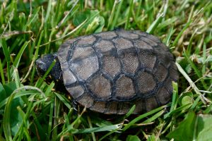 Blanding's Turtle by EarthBerry