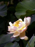 lotus.1 by Lisa-Gane
