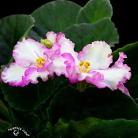 African Violet by FauxHead