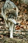 Scamper wolf by Fohat