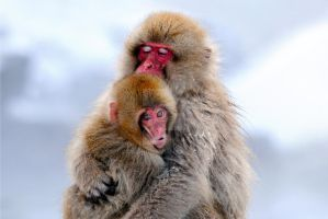 Mother and child Snow Monkey by csling