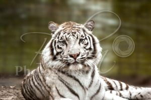 White Tiger by VeCani