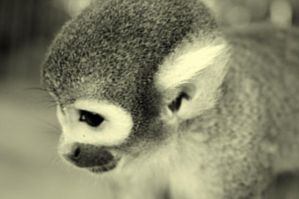 Squirrel Monkey by Ola810