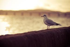 Seagull by scumdee