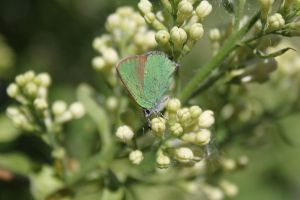 Green Hairstreak 2 by BadMasterWolf