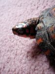 Red Box Turtle Stock 5 by HannibolLove