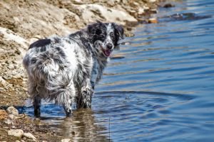 Springer Spaniel in Water 3 by dannypyle