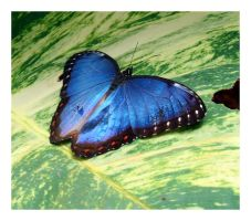 Another Morpho Blue by ameliasantos