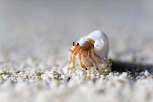Hermit Crab by randru
