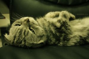 Scottish Fold Sleepy Head by MohdAlAli