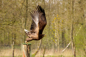 white-tailed eagle 3 by Quiet-bliss