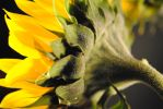 Sunflower Back by bloomingvinedesign