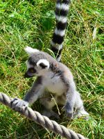 Photo: Lemur by Mariesen