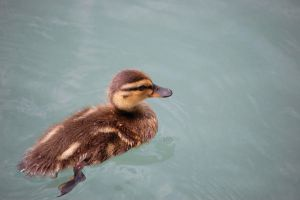 Darkwing Duckling by Tuesdaysangel
