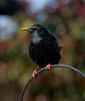 Starling IV by adambrowning
