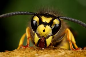 Common uk wasp that stings by macrojunkie