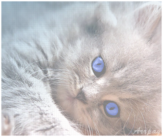 Blue eyed kitty by LifesDestiny