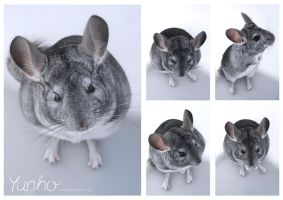 Yunho the chinchilla by Kalesta