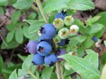 Maine Wild Blueberries by elfme
