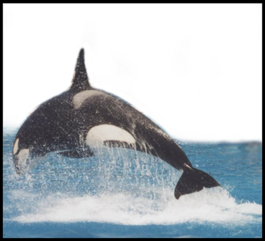 Killer Whale 0009 by JS-Creations