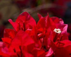 Bougainvillea by angusfk