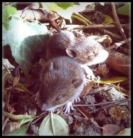 Cute Baby Mice by Forestina-Fotos