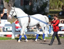 Lipizzaner Stallions 11 by Lauren-Lee
