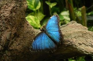 Blue Butterfly by MunsenTheBiscuit69