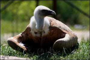 Griffon Vulture 02 by Canisography